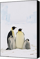 Downy Canvas Prints - Emperor Penguin Aptenodytes Forsteri Canvas Print by Konrad Wothe