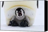 Fn Canvas Prints - Emperor Penguin Aptenodytes Forsteri Canvas Print by Rob Reijnen