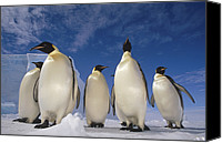 Animal Behaviour Canvas Prints - Emperor Penguins Antarctica Canvas Print by Tui De Roy