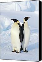 Two Animals Canvas Prints - Emperor Penguins, Weddell Sea Canvas Print by Joseph Van Os