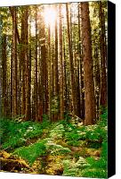 Tall Trees Canvas Prints - Enchanted Forest Canvas Print by Dan Mihai