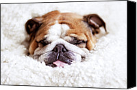 Selective Canvas Prints - English Bulldog Sleeping In Fluffy White Blanket Canvas Print by Hanneke Vollbehr