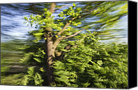 Quercus Canvas Prints - English Oak Quercus Robur Blowing Canvas Print by Konrad Wothe