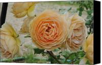 Peach Colored Canvas Prints - English Rose Apricot Crown Princess Margareta 2 Canvas Print by Robyn Stacey