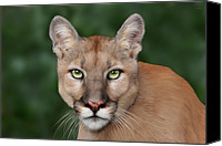 Mountain Lion Digital Art Canvas Prints - Enya Canvas Print by Big Cat Rescue
