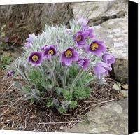 Pulsatilla Vulgaris Canvas Prints - European Pasqueflower Canvas Print by Adrian Thomas