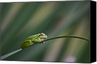 Rikard Olsson Canvas Prints - European tree frog Canvas Print by Rikard  Olsson