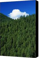 Selection Canvas Prints - Evergreen Forest Canvas Print by Natural Selection Craig Tuttle