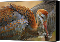 Sandhill Crane Canvas Prints - Evolving Sandhill Crane Beauty Canvas Print by Carol Groenen