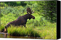 Moose In Water Canvas Prints - Exit Strategy Canvas Print by Jim Garrison