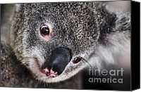 Australian Animal Canvas Prints - EYE am watching you - Koala Canvas Print by Kaye Menner