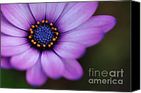White Daisy Canvas Prints - Eye of the Daisy Canvas Print by Kaye Menner