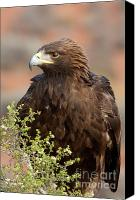 Aves Canvas Prints - Eye of the Golden Eagle Canvas Print by Sandra Bronstein