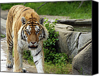 Detroit Tigers Canvas Prints - Eyeing me up Canvas Print by Gordon Dean II