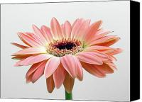 Gerber Canvas Prints - Faithful Daisy Canvas Print by Juergen Roth