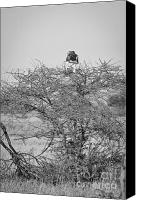 Predator Canvas Prints - Falcon on top of an African Tree Canvas Print by Darcy Michaelchuk
