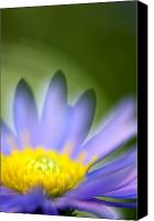 Aster Canvas Prints - Fall Flower Canvas Print by Silke Magino