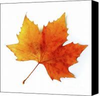 Gold Leave Canvas Prints - Fall Leaf Canvas Print by Carlos Caetano