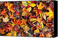 Canada Canvas Prints - Fall leaves background Canvas Print by Elena Elisseeva
