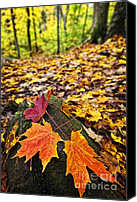 Forest Floor Canvas Prints - Fall leaves in forest Canvas Print by Elena Elisseeva