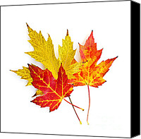 Maple Canvas Prints - Fall maple leaves on white Canvas Print by Elena Elisseeva