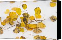 Autumn Photographs Canvas Prints - Fallen Autumn Aspen Leaves Canvas Print by James Bo Insogna