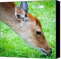 Deer Canvas Prints - FALLOW DEER GRAZING british fallow deer grazing on grass in the New Forest Dorset Canvas Print by Andy Smy