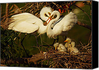 Great Egret Canvas Prints - Family Canvas Print by Andrew McInnes