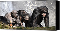 Chimpanzee Photo Canvas Prints - Family Matters Canvas Print by Fraida Gutovich