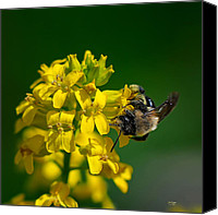 Wild-flower Canvas Prints - Fanfare For The Common BumbleBee Canvas Print by Lois Bryan