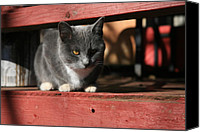 Featured Canvas Prints - Farm cat Canvas Print by Tacey Hawkins