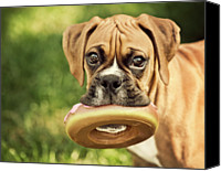 Innocence Canvas Prints - Fawn Boxer Puppy Canvas Print by Jody Trappe Photography