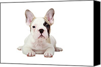 Animal Portrait Canvas Prints - Fawn Pied French Bulldog Puppy Canvas Print by Mlorenzphotography