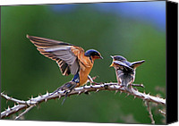 Swallow Canvas Prints - Feed Me Canvas Print by William Lee