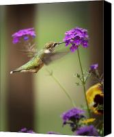 Ruby Throated Canvas Prints - Feeding Hummingbird Canvas Print by Al  Mueller