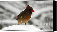 Cardinals. Wildlife. Nature. Photography Canvas Prints - Female Cardinal in Snow Canvas Print by Jennifer Wosmansky