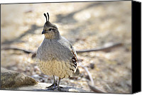 Quail Canvas Prints - Female Gambels Quail  Canvas Print by Saija  Lehtonen