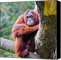 Orangutan Photo Canvas Prints - Female Orangutan Canvas Print by Gabriela Insuratelu