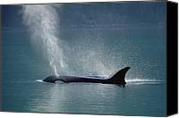 Whale Canvas Prints - Female Orca Spouting Alaska Canvas Print by Konrad Wothe