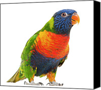 Away Canvas Prints - Female Rainbow Lorikeet - Trichoglossus Haematodus Canvas Print by Life On White