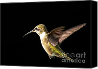 Ruby Throated Canvas Prints - female Ruby Throated Hummingbird Canvas Print by Matt Suess
