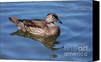 Female Wood Duck Canvas Prints - Female Wood Duck Canvas Print by Elaine Manley