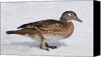 Female Wood Duck Canvas Prints - Female Wood Duck Canvas Print by Nina Stavlund