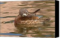 Female Wood Duck Canvas Prints - Female Wood Duck Preening On The Water Canvas Print by Max Allen