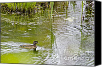 Female Wood Duck Canvas Prints - Female Wood Duck Canvas Print by Sean Griffin