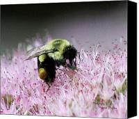 Signed Digital Art Canvas Prints - Female Worker Bumble Bee with Pollen Sack on Hen and Chick Plant Canvas Print by Suzanne  McClain