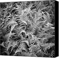 Hay Canvas Prints - Ferns In Black And White Canvas Print by Daniel J. Grenier