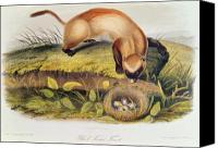 Black-footed Ferret Canvas Prints - Ferret Canvas Print by John James Audubon