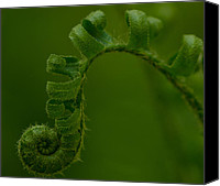 New Earth Canvas Prints - Fiddlehead 1 Canvas Print by Maria Suhr