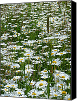 Sue Jenkins Canvas Prints - Field of Daisies Canvas Print by Sue Jenkins